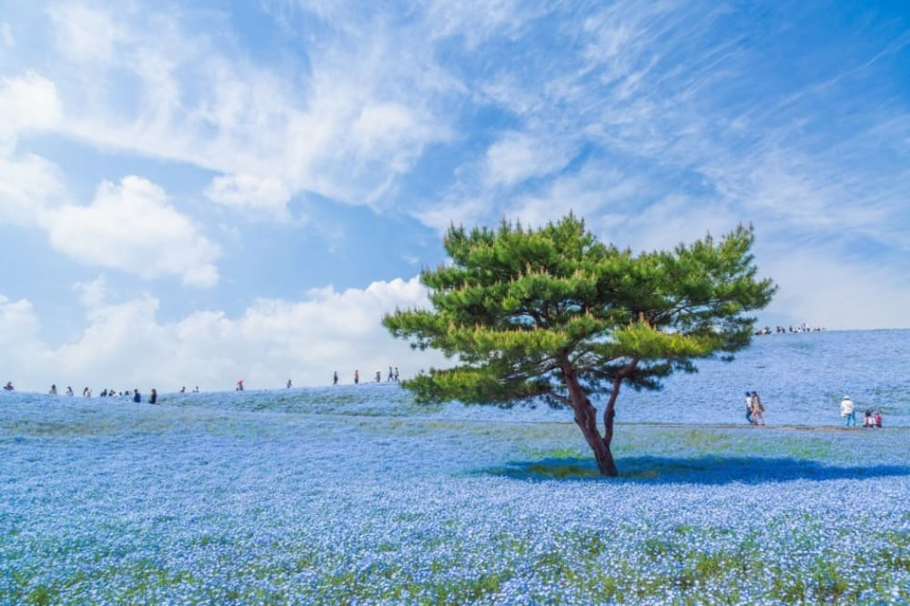 a beautiful display of fields covered in a blanket for blue flowers
